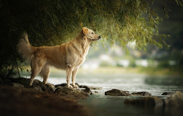 Picture river, stones, for, dog, Amara