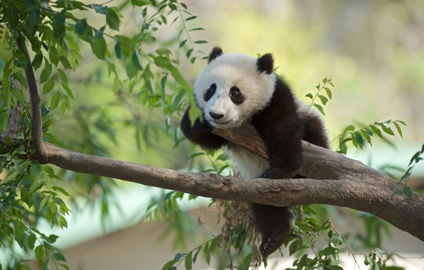 Picture branches, tree, Panda, bear, cub