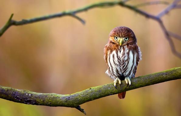 Picture background, owl, bird, branch