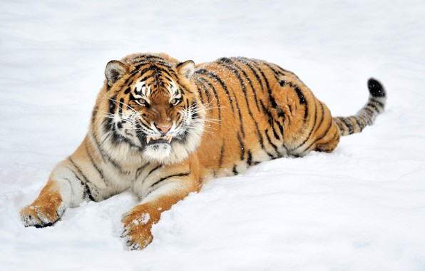 Picture winter, face, nature, tiger, predator, fangs, grin, lies, in the snow