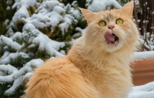 Picture winter, licked, looking up, red cat