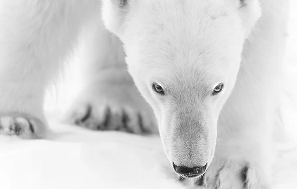 Picture winter, face, polar bear, white bear