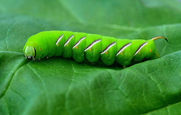 Picture caterpillar, sheet, insect, the poplar hawk moth