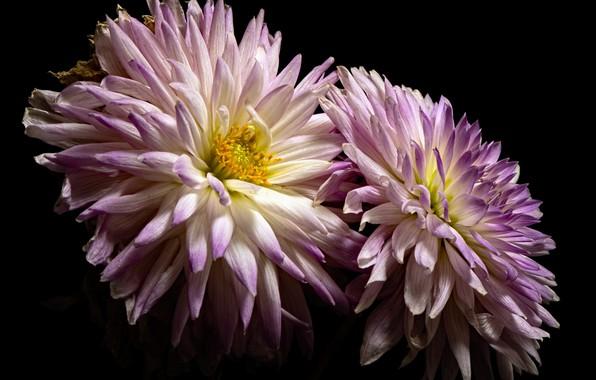 Picture white, Purple, Dahlia