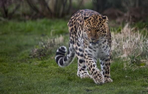 Picture spot, leopard, tail