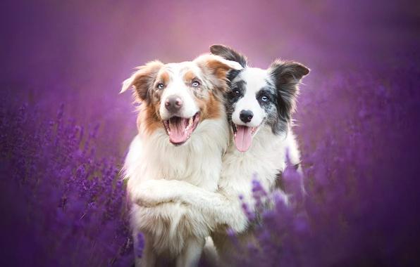 Picture dogs, flowers, friendship, friends, lavender, The border collie