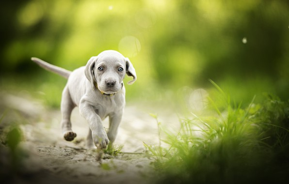 Picture grass, baby, puppy, walk, bokeh, doggie, The Weimaraner, Weimar pointer