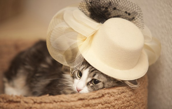 Picture cat, hat, Madame