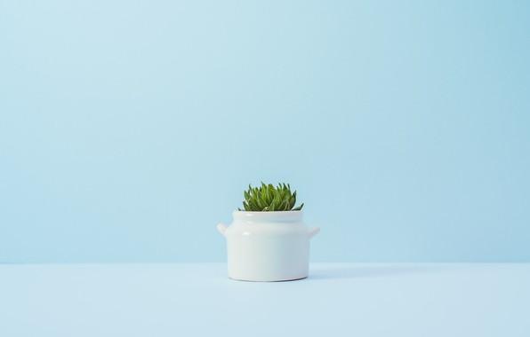Picture flower, background, blue, plant, a flowerpot