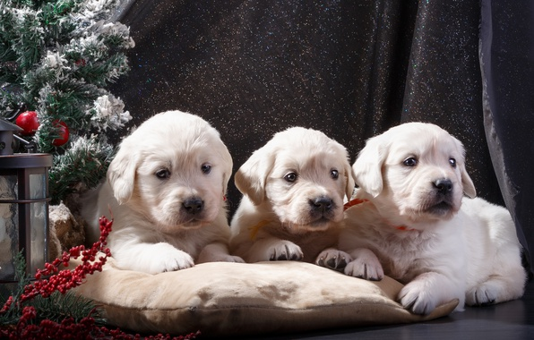 Picture puppies, New year, tree, white, trio, Retriever, decor