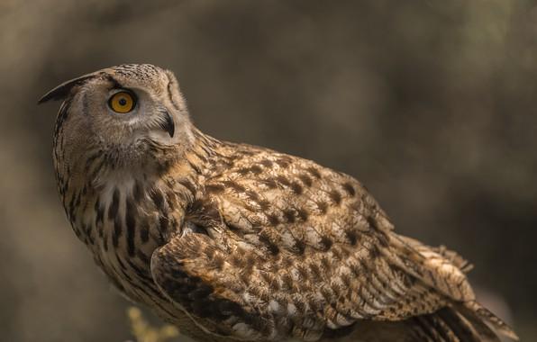 Picture owl, bird, owl