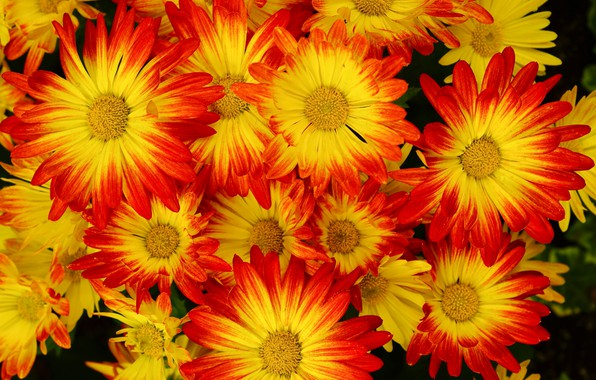 Picture background, chrysanthemum, a lot, closeup, yellow-red