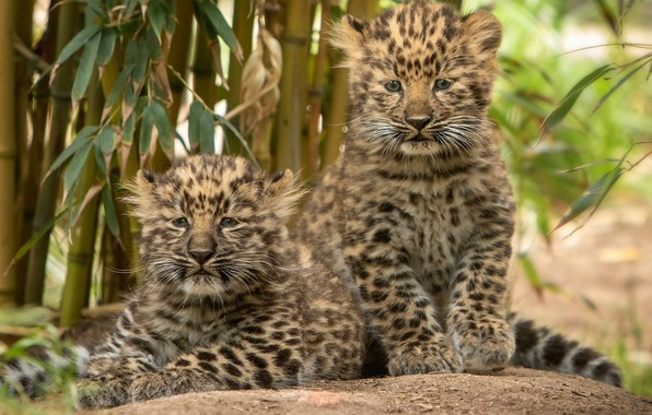Picture kittens, a couple, leopards, cubs