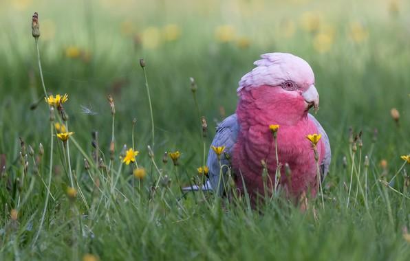 Picture grass, flowers, bird, parrot, bokeh, Pink cockatoo