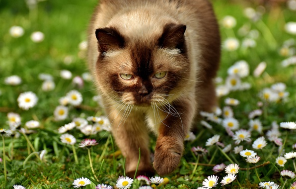 Picture greens, cat, summer, eyes, cat, look, face, light, flowers, heat, glade, portrait, chamomile, Sunny, lawn, …