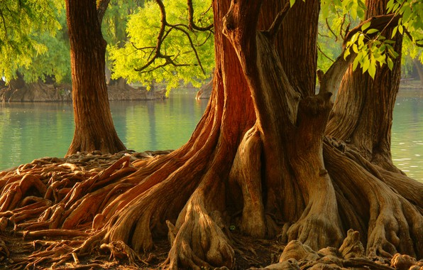 Picture trees, roots, pond