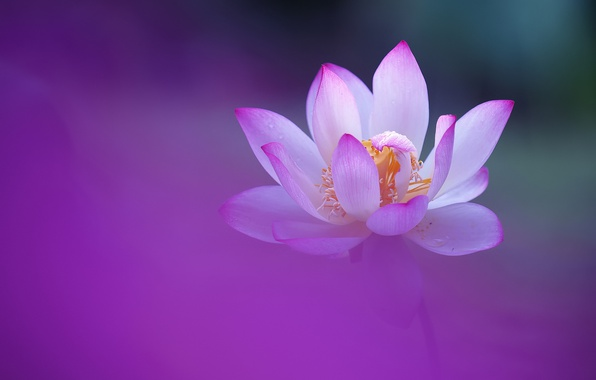 Picture flower, background, petals, Lotus