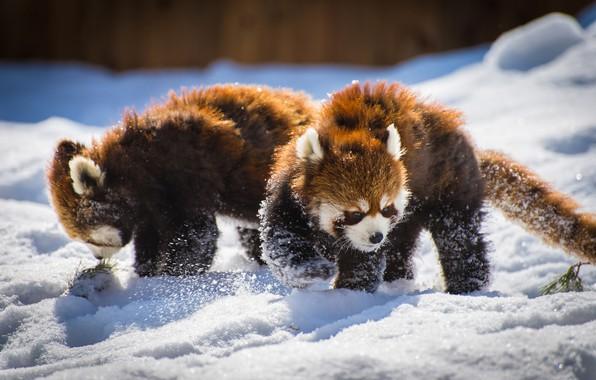 Picture snow, pair, Panda, Red Panda, Red Panda