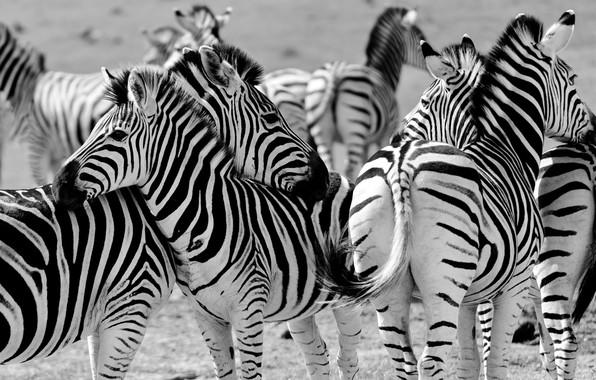 Picture Zebra, Africa, the herd