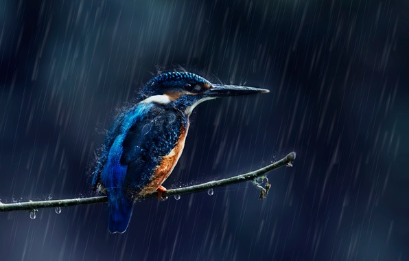 Picture drops, squirt, rain, bird, branch, Kingfisher