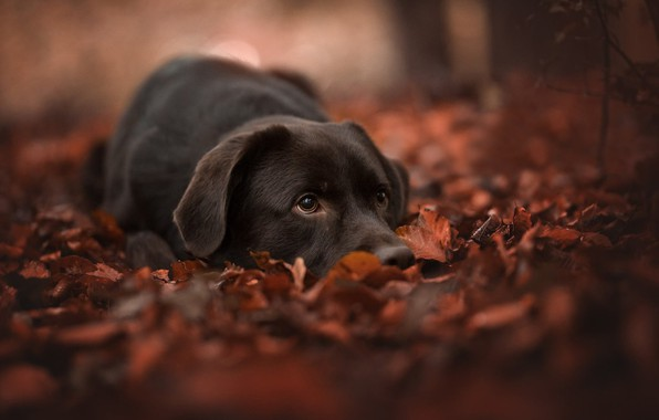 Picture autumn, face, leaves, foliage, dog, bokeh