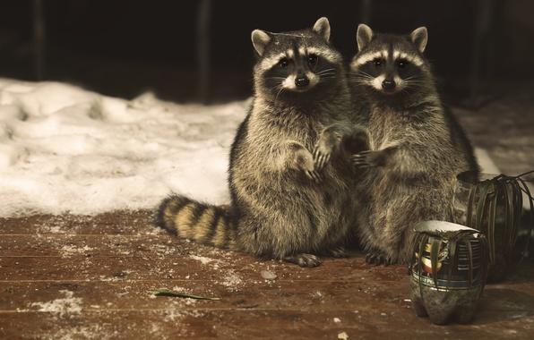 Picture look, pair, raccoons