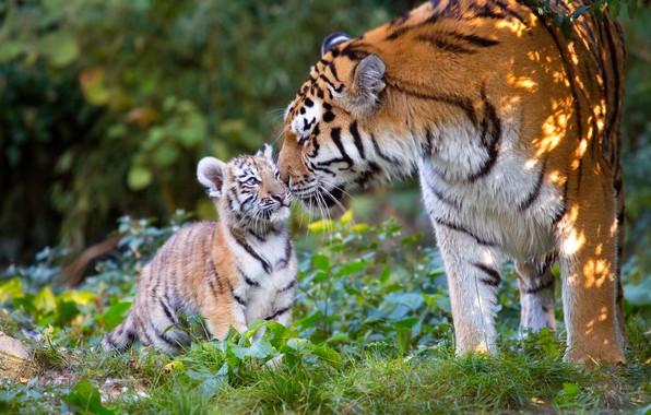 Picture animals, nature, predators, cub, tigers, tigress, tiger