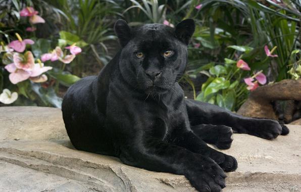 Picture look, Jaguar, wild cat, handsome, black Panther