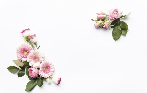 Picture flowers, Pink, white background, flower, Rose, leaves, Decor