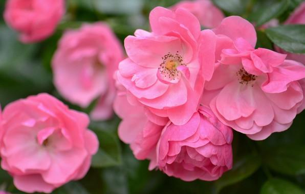 Picture macro, roses, petals, pink, bokeh