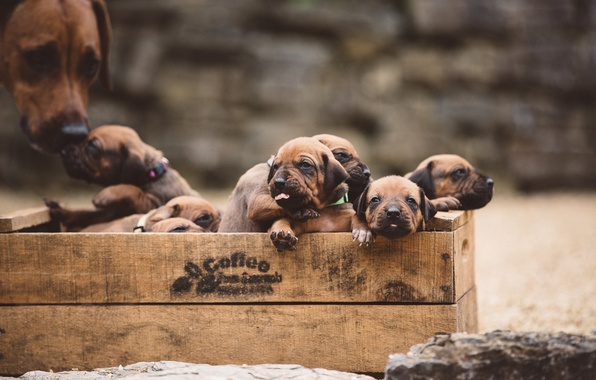 Picture dogs, puppies, box
