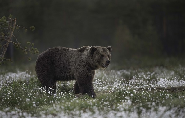 Picture bear, giant, bear