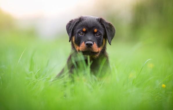 Photo wallpaper greens, grass, face, nature, background, glade, portrait, dog, cute, puppy, Rottweiler