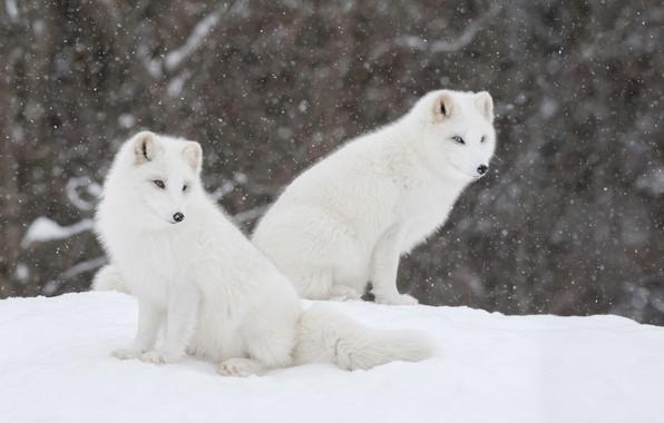 Picture winter, snow, a couple, Fox, Polar Fox