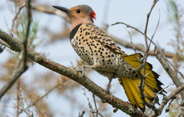 Picture branches, nature, bird, woodpecker, tail, motley, woodpecker Golden