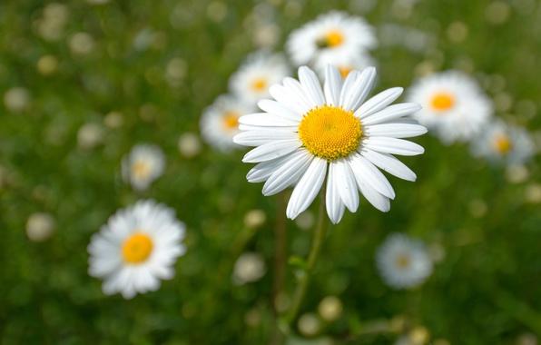 Picture macro, petals, Daisy, bokeh, loves me - loves me not