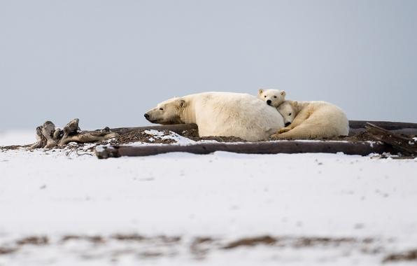 Picture animals, family, Polar Bear