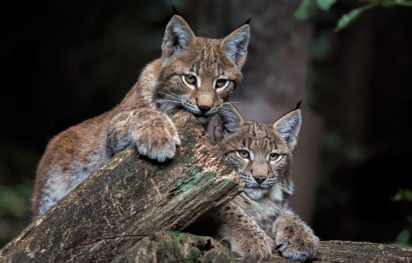 Picture lynx, a couple, cubs, the lynx