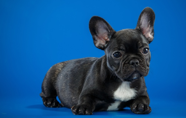 Picture puppy, breed, French bulldog