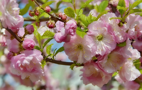Picture flowers, nature, holiday, beauty, spring, may, flowering, almonds