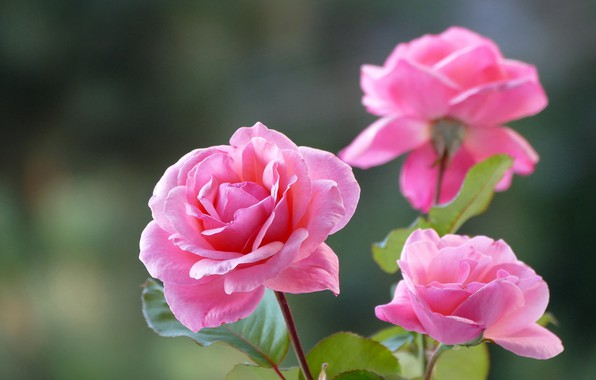 Picture background, roses, trio