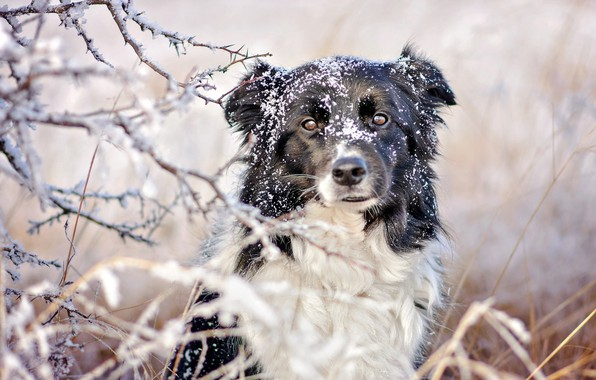 Picture winter, frost, grass, look, face, snow, branches, nature, black and white, portrait, dog
