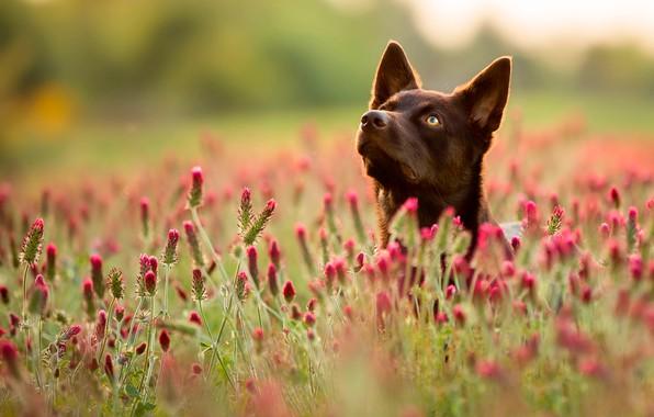 Picture field, summer, grass, face, flowers, dog, bokeh
