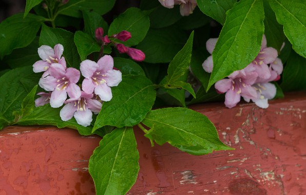 Picture Pink flowers, Pink flowers, Weigela, Weigela