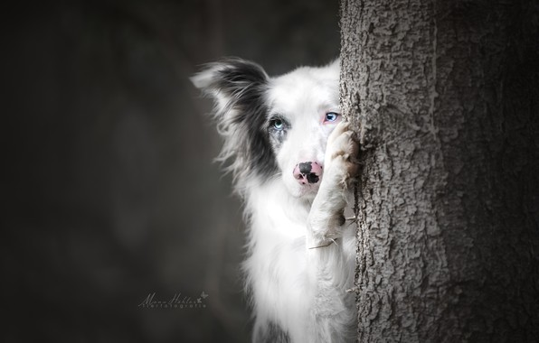 Picture face, background, tree, paw, dog, The border collie