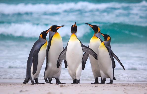 Picture sea, beach, the ocean, pack, Royal penguins