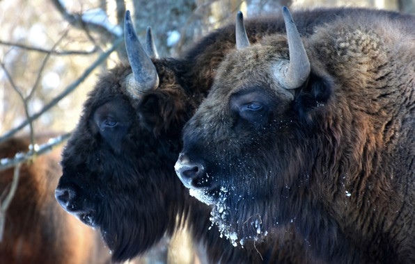 Picture power, power, horns, bison