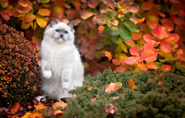 Picture autumn, cat, white, grass, cat, leaves, nature, blue eyes, the bushes