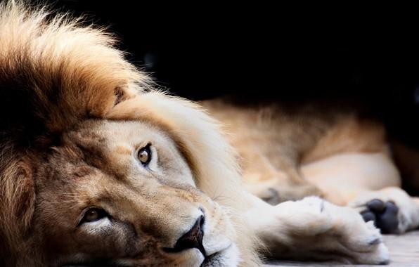 Picture Black, Cat, Lion, King, Eye, Lies, Siesta