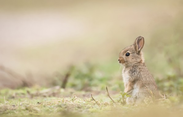 Picture rabbit, baby, cub, bokeh, rabbit